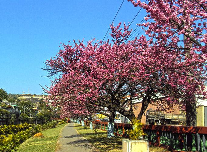 Florada Cerejeira